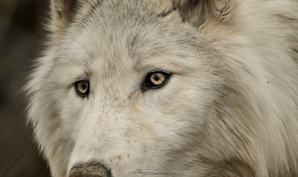 Recovery is being Raised By Wolves